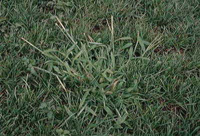 Lawn Care Acworth, Ga Crabgrass Control